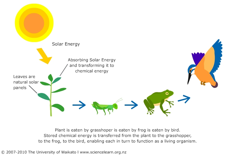 Forest Food Pyramid Project | Food web, Science classroom ... | 500x750